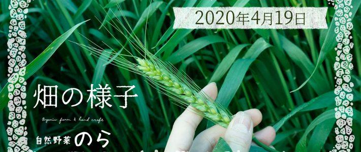 vlog畑の風景 ライ麦 古代小麦 大麦 春夏野菜
