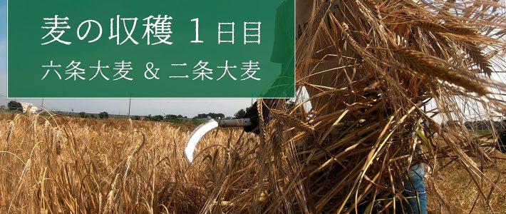 無農薬栽培の麦、収穫1日目【六条大麦・二条大麦】