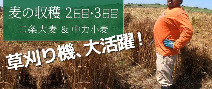 無農薬栽培の麦、2日目と3日目 草刈り機で麦刈り!